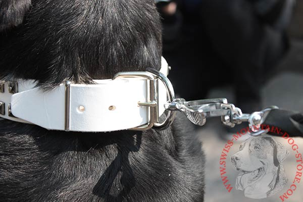 Swiss Mountain Dog white leather collar with durable studs for stylish walks