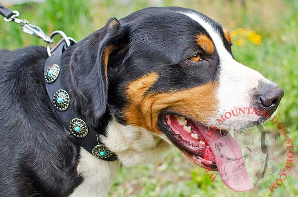 Dog Collar Leather Adorned with Fascinating Conchos for Swiss Mountain Dog