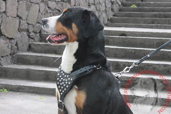 Leather Swiss Mountain Dog Harness with Studded Chest Plate