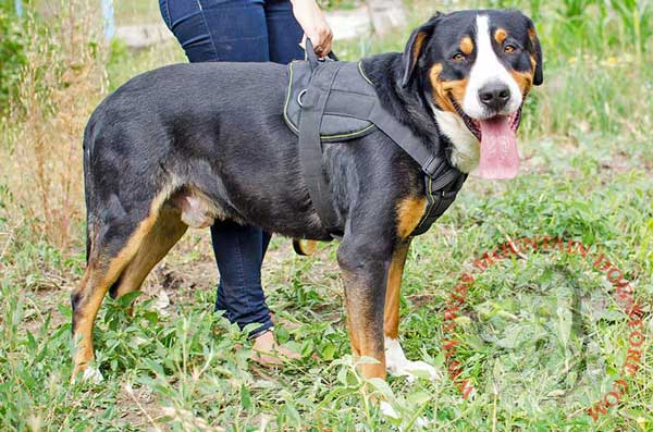 Durable Nylon Swiss Mountain Dog Harness for Comfortable Handling