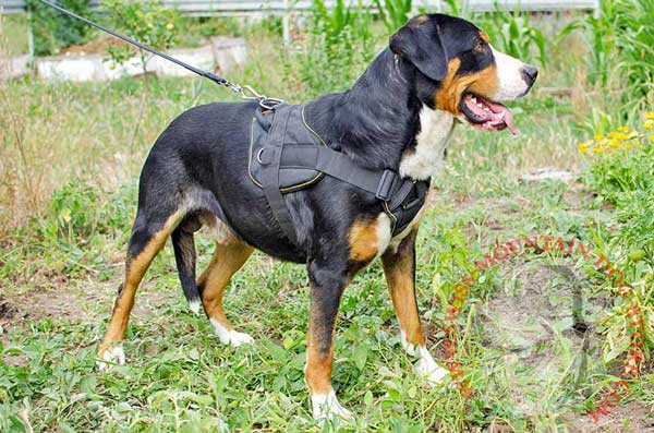 Swiss Mountain Dog Nylon Harness for Pulling Activities