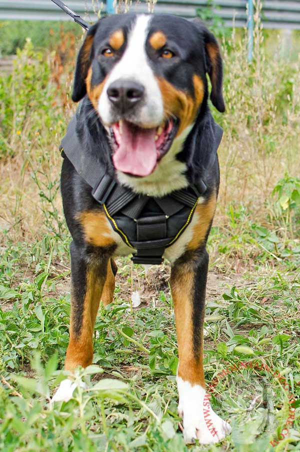 Everyday Walking Nylon Harness for Swiss Mountain Dog